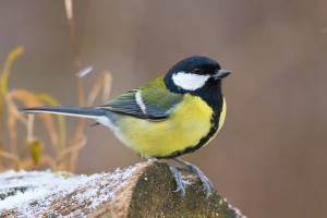 Great tit ,Parus major